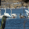 Tundra Swans (Juvenille & Adult); Northern Shoveler ducks; Canada Geese